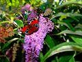Arbre à papillons (959507977).jpg