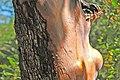 Arbutus menziesii (Pacific madrone tree) (near Calistoga, California, USA) 3 (49095165637).jpg