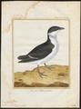 Arctica alle - 1700-1880 - Print - Iconographia Zoologica - Special Collections University of Amsterdam - UBA01 IZ17800315.tif