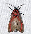 Arctiid Moth (Himerarctia docis) (26628815588).jpg