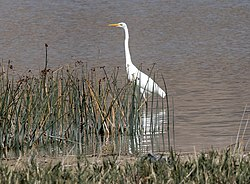 Ardea alba - Great Egret, Sivas 01-1 (cropped).jpg