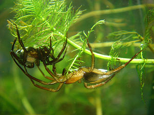 Diving bell spider - Female (on left) and male
