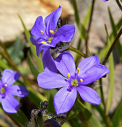 definition of iridaceae