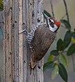 Arizona Woodpecker (33846722541).jpg