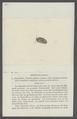 Armadillo maculatus - - Print - Iconographia Zoologica - Special Collections University of Amsterdam - UBAINV0274 098 09 0018.tif
