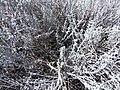 Artemisia bigelovii — Matt Lavin 010.jpg
