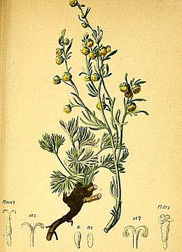 Artemisia mutellina Atlas Alpenflora