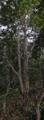Arvore tipica do cerrado de tronco torto e grossa cortica.png
