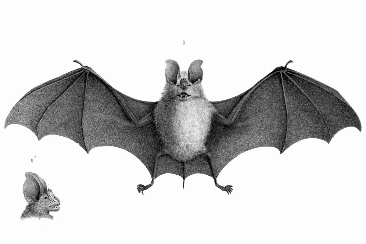 trident bat wikipedia clip art leafy sea dragon clip art leaf patterns for applique