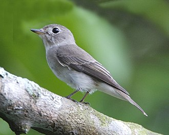 Asian brown flycatcher - Image: Asian Brown Flycatcher Muscicapa dauurica