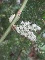 Asparagus racemosus - Satawari flowers - at Peravoor 2018 (6).jpg