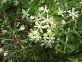 Asparagus suaveolens, c, Schanskop.jpg