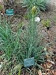 Asphodeline lutea - Copenhagen Botanical Garden - DSC07344.JPG
