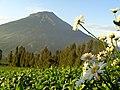 Aster di Lereng Gunung Sindoro.jpg