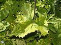 Asteraceae - Adenostyles alliariae-005.jpg