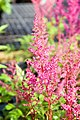 Astilbe japonica Elizabeth van Veen 1zz.jpg