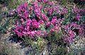 Astragalus crassicarpus.jpg