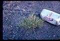 Astragalus yoder-williamsii plant beercan in SW Idaho.jpg