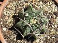 Astrophytum crassispinum 4.JPG
