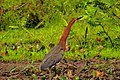 At Possa da Londra in the Brazilian Patanal (105m) - Rufescent Tiger-Heron (Tigrisoma lineatum) - (24213957044).jpg