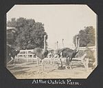 At the Ostrich Farm. (17158382245).jpg