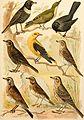 Atlante ornitologico - uccelli europei - con notizie d'indole generale e particolare (1902) (14749202982).jpg