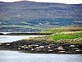 Atlantic Grey Seals, Loch Dunvegan - geograph.org.uk - 1126194.jpg