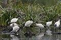 Australian White Ibises (31759090150).jpg
