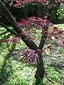 Bílá Lhota, arboretum, javor dlanitolistý.jpg