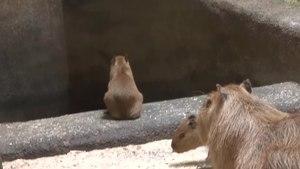 File:Baby Capybara Twins.webm