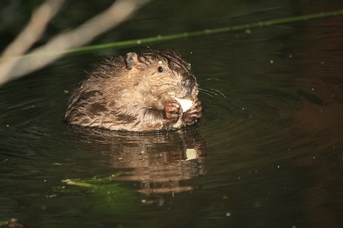 Baby beaver nibbles some food in Martinez June 2010