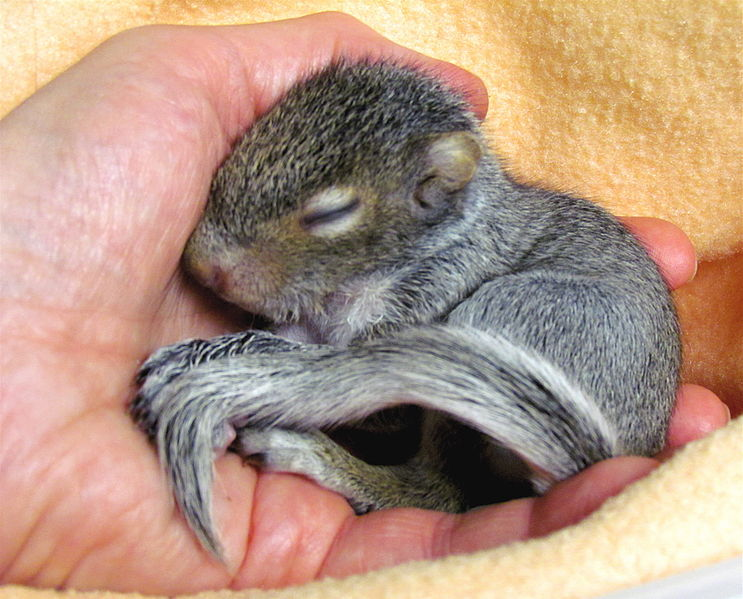 File:Baby squirrel (orphaned male) sleeping in human hand.jpg
