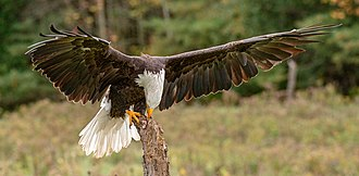 Bald eagle - During training at the Canadian Raptor Conservancy, a facility license by the province of Ontario