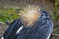 Balearica pavonina (Schwarzer Kronenkranich - Black Crowned Crane) - Weltvogelpark Walsrode 2012-06-120426 0011.jpg