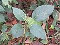 Baliospermum montanum - Red Physic Nut at Mayyil (1).jpg