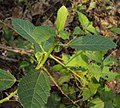 Baliospermum solanifolium 05.JPG