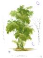 Bambusa bambos Blanco1.100b.png