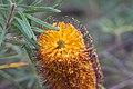 Banksia Spinulosa.jpg