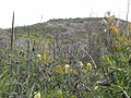 Banksia in Heath land with differing life cycles 02.jpg