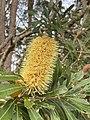 Banksia integrifolia 155332409.jpg