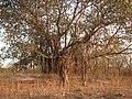 Banyan Tree Ficus benghalensis by Dr. Raju Kasambe DSCN9597 (5).jpg