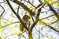 Barred owl (26483894717).jpg