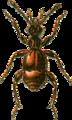 Batrisus oculatus Jacobson.png