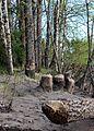 Beaver Cut Trees Sanginsuu Oulu 20120526.JPG