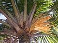 Beccariophoenix alfredii 11.JPG