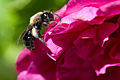 Bee on red flower (7246854500).jpg