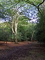 Beeches in Bramble Wood, New Forest - geograph.org.uk - 251109.jpg