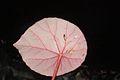 Begonia taraw 1- raab bustamante.jpg
