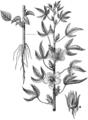 Beklädnadsväxter, Hibiscus cannabinus, Nordisk familjebok.png