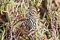 Belding's Savannah sparrow (adult) (6797862497).jpg